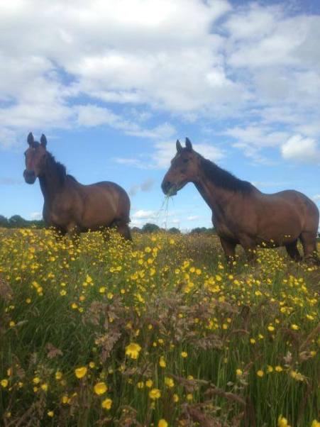grass ponies